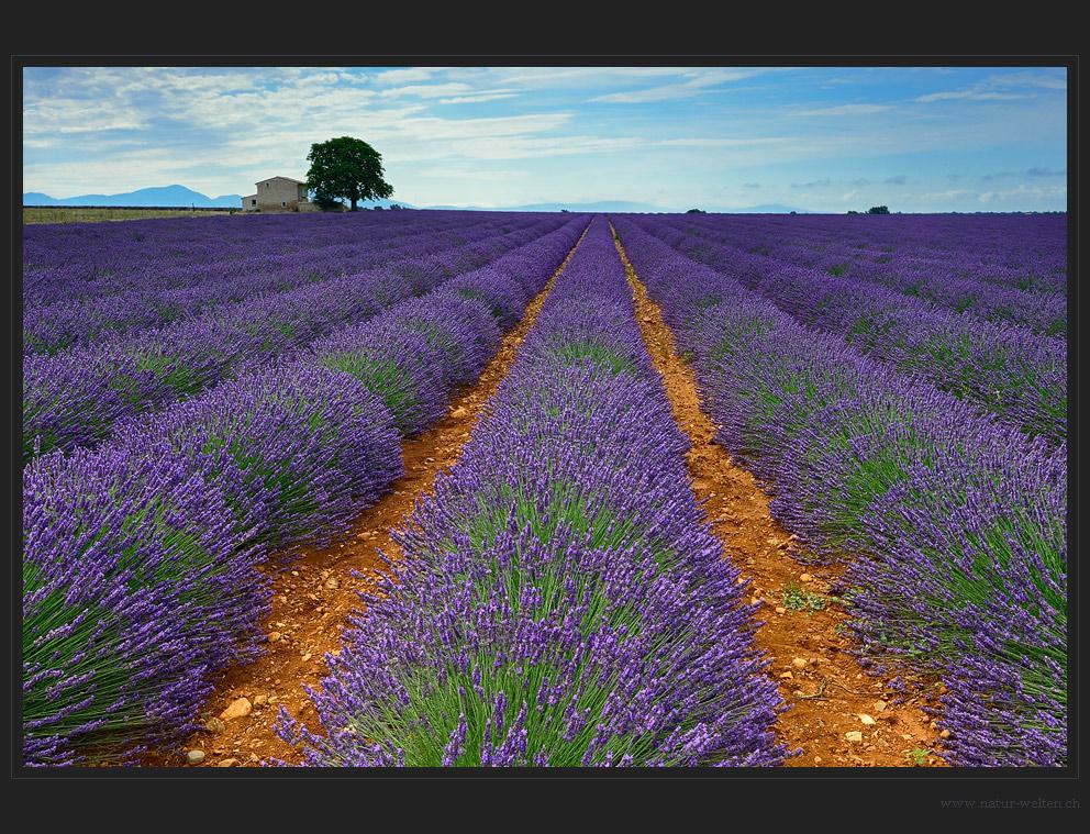 Abschied vom Lavendel