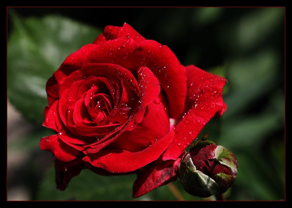 ... Abschieds-Röslein ... / ... la rose d'adieu ...