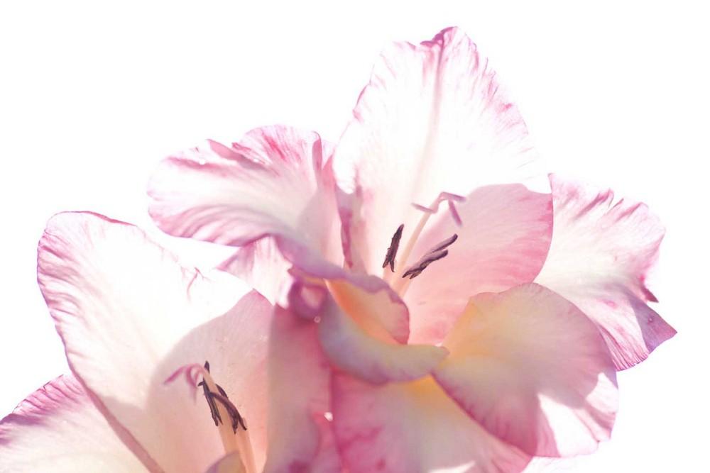 abstrakte Gladiole