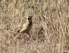 Abyssinian Longclaw, Goldhalspieper