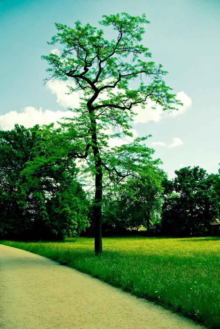 acacia