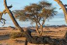 Acacia Trees 06