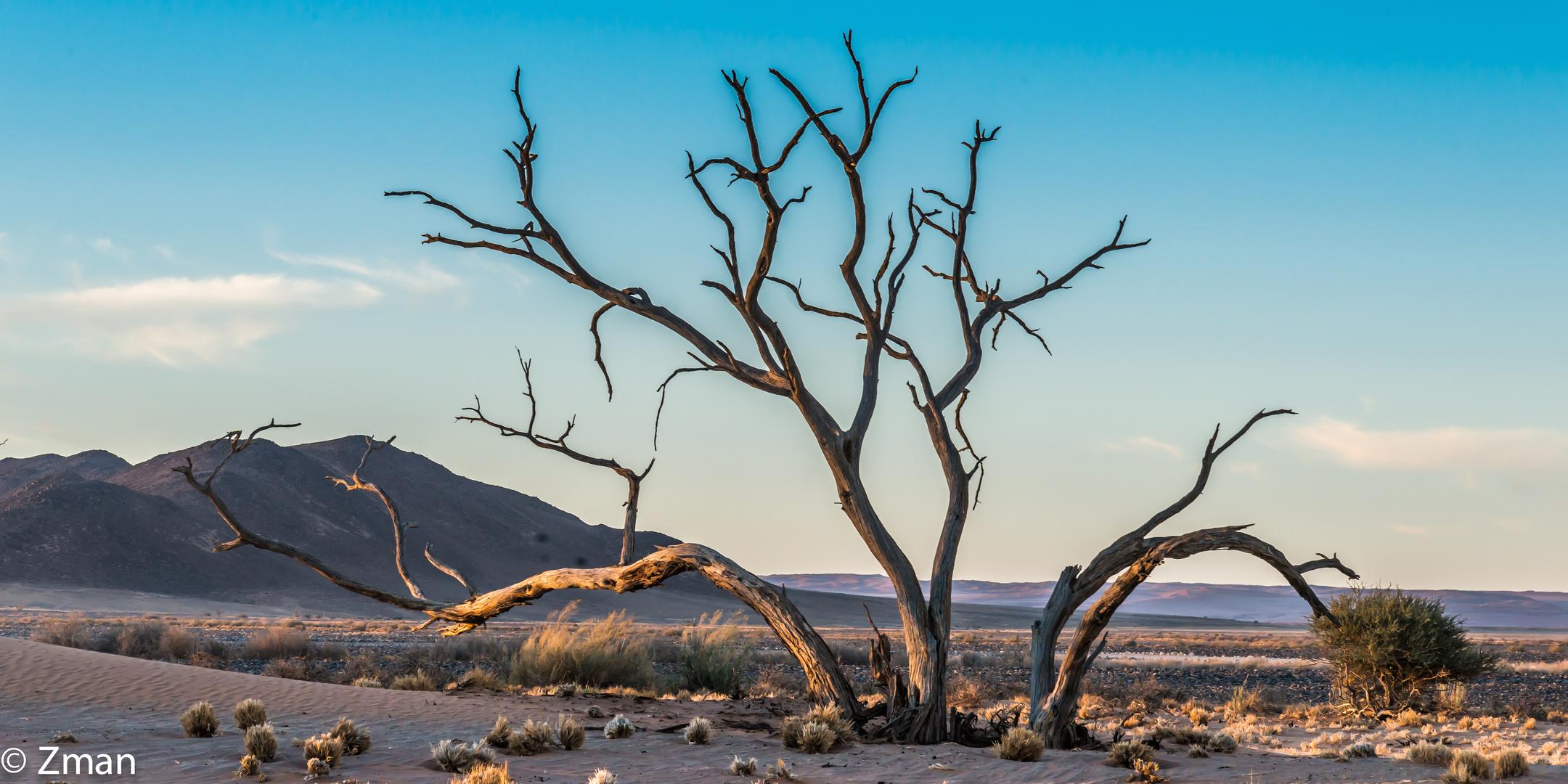 Acacia Trees 08