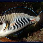 Acanthurus sohal - Arabischer-Doktorfisch