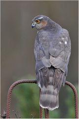 Accipiter nisus - Sperber
