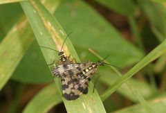 Accouplement de Panorpes ou Mouches Scorpions