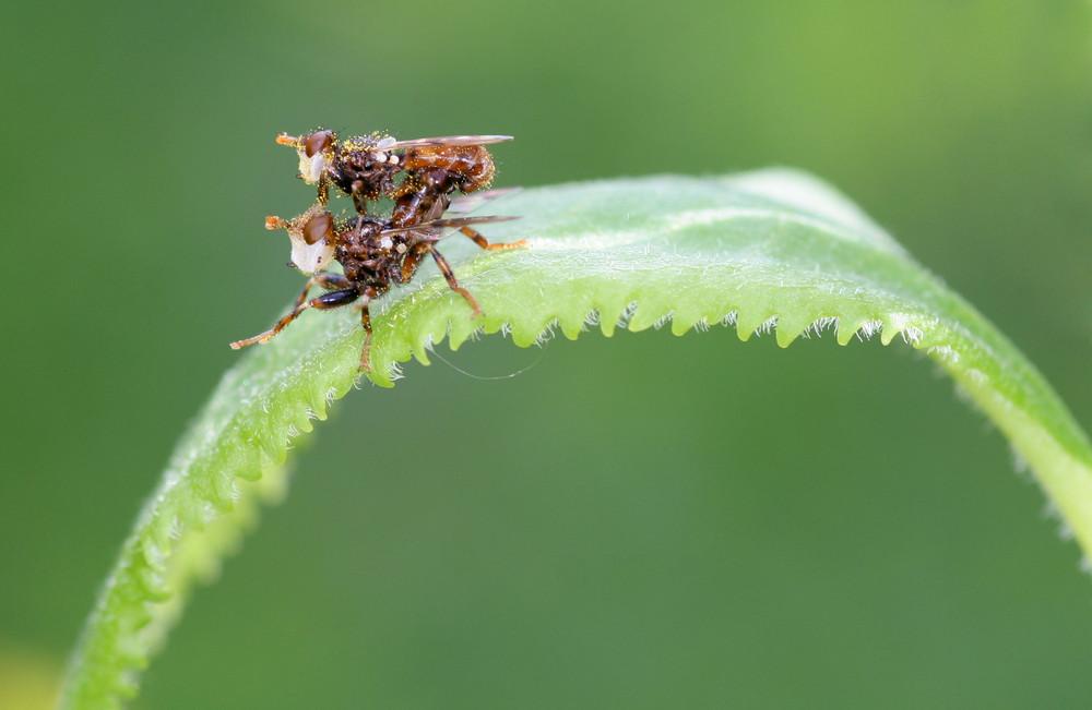 Accouplement de petits diptères (7-8 mm) couverts de pollen
