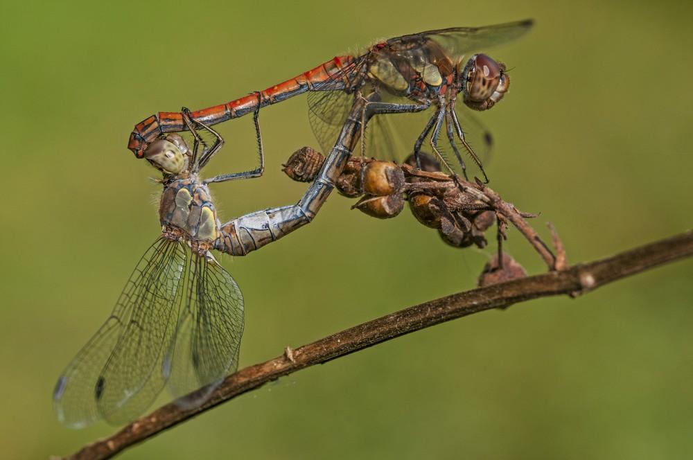 Accouplement libellules