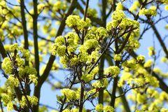 Acer campestre - Blüte -