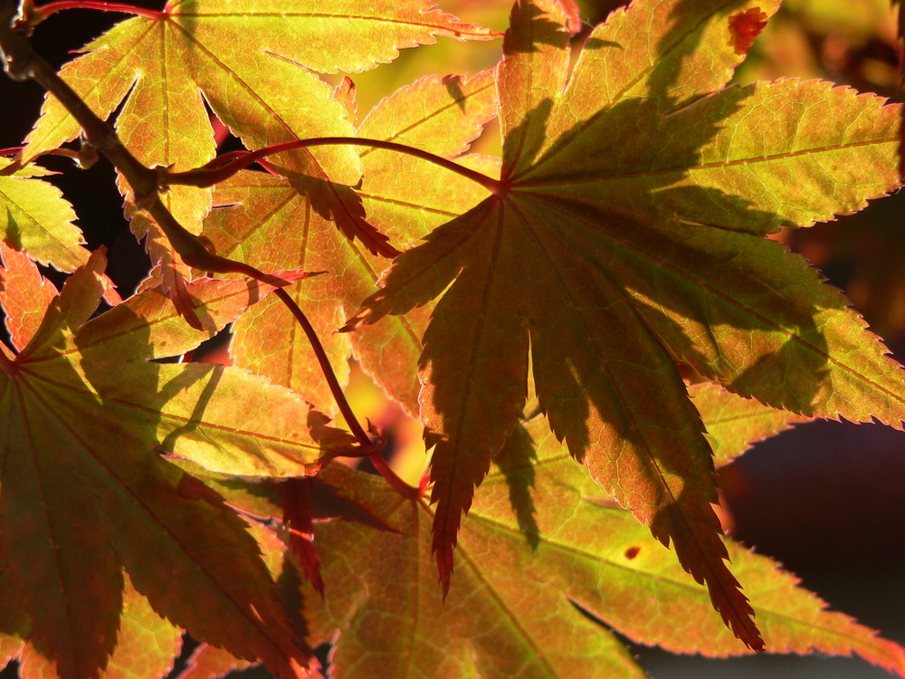 Acero Rosso (Acer rubrum)