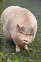 Ach, du dickes Schwein!