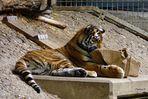Ach ist das langweilig! - denkt der kleine Tiger im Zoo Köln