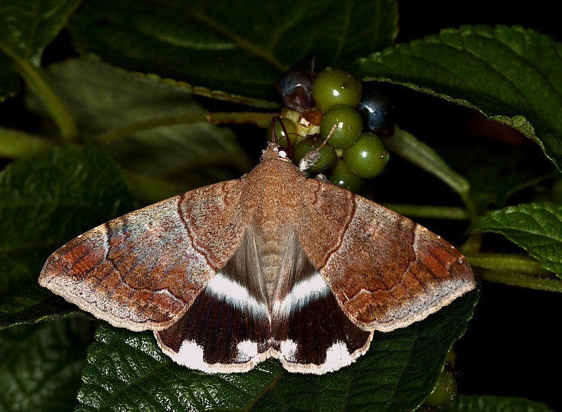 Achaea janata Noctuidae on Lantana Fruits.