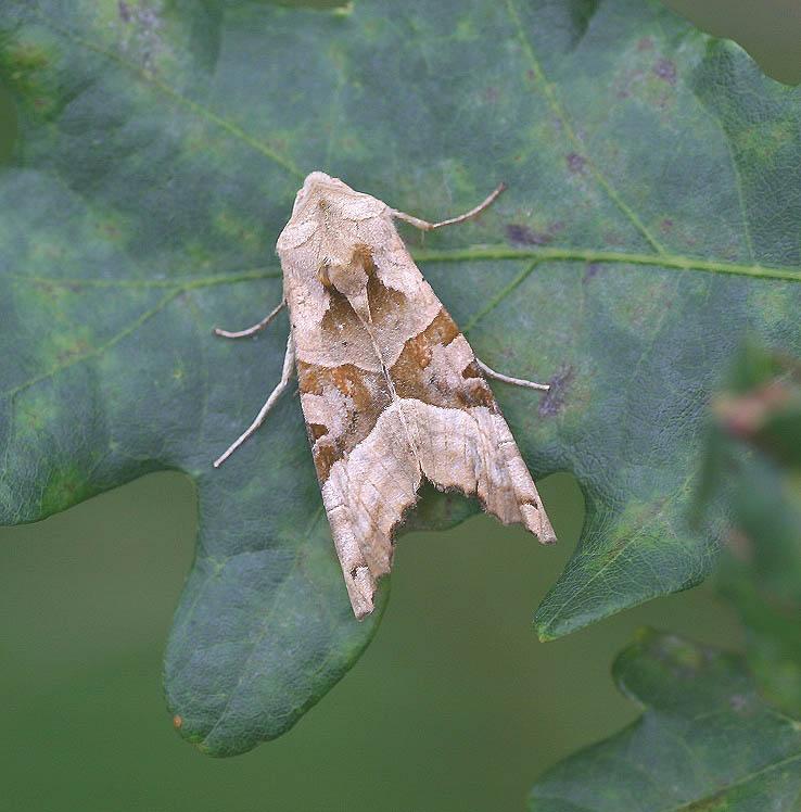 Achat-Eule - Phlogophora meticulosa