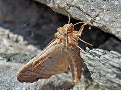 Achateule (Phlogophora meticulosa) - La Méticuleuse.