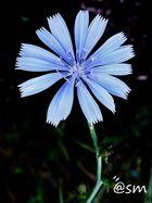 Achicoria común Cichorium intybus