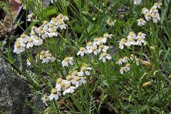 Achilea erba rotta moschata