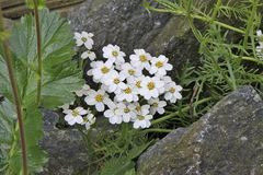 Achilea erba rotta ssp moschata