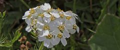 Achilea erba rotta ssp. moschata-Moschusschafgarbe eine...