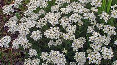 Achilea moschata-Die Moschsschafgarbe aus den Alpen...