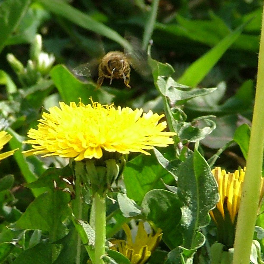 Achtung Biene im Anflug