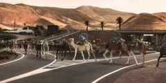 achtung-kamel -kreisverkehr