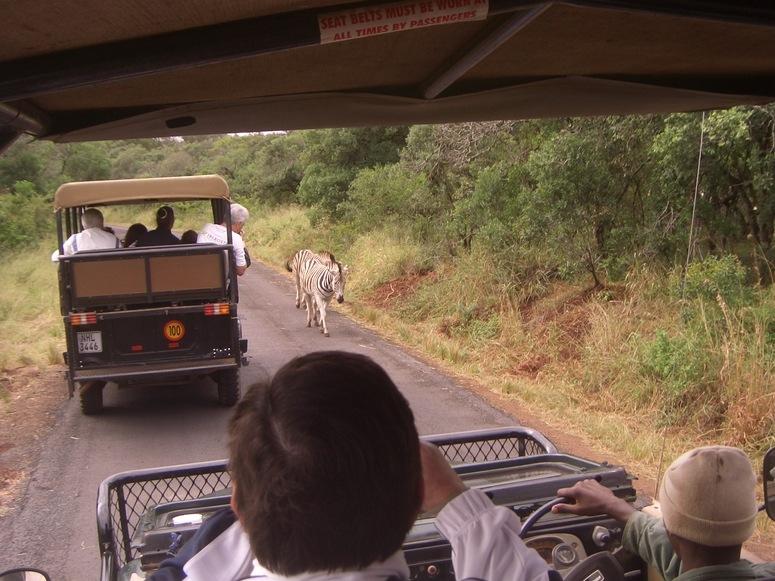 Achtung Zebras von vorne (Krüger Nationalpark)