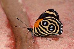 ACHZIG ODER NULL ACHT? Eunomia Eighty-eight or Eunomia Numberwing (Callicore eunomia)