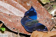 Acidalia leafwing (Memphis acidalia)
