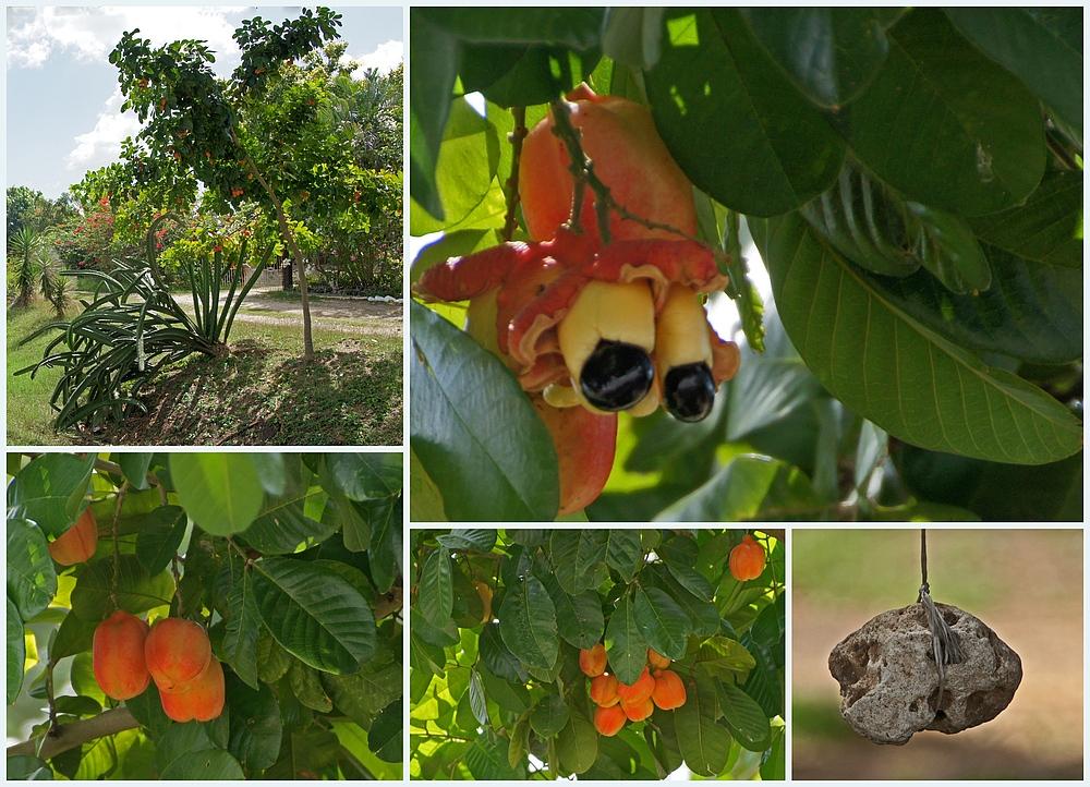 ..Ackee-Frucht..