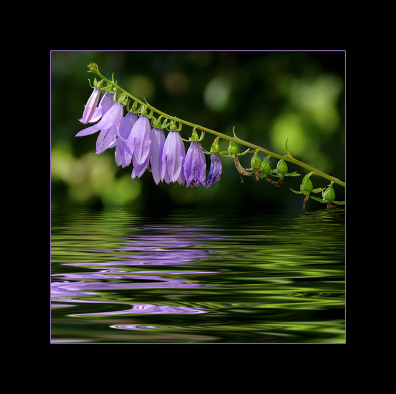Acker-Glockenblume