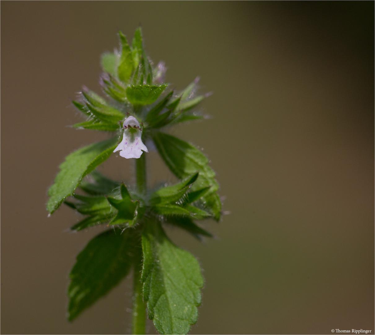 Acker-Ziest (Stachys arvensis)   -