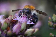 Ackerhummel Blütenbesuch