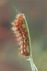Acroonicta rumicis (Linnaeus, 1758) Lepidoptera Noctuidae