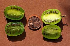 Actinidia arguta - Größenvergleich