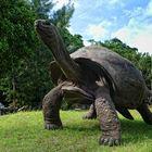 Adabra Riesenschildkröte