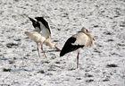 Adebar der Storch -2-