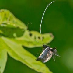 Adela reaumurella mâle à l'atterrissage