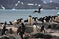 Adelie-Pinguin-Kolonie...