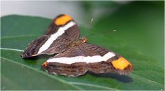 Adelpha basiloides