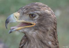 Adler 01