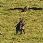 Adler Angriff