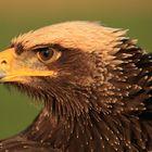 Adler auf der Lauer