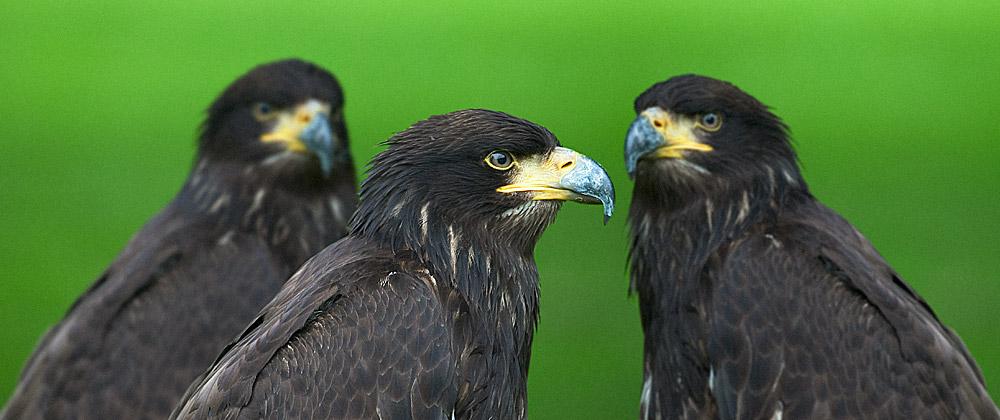 Adler – aus 1 mach 3 [Montage]