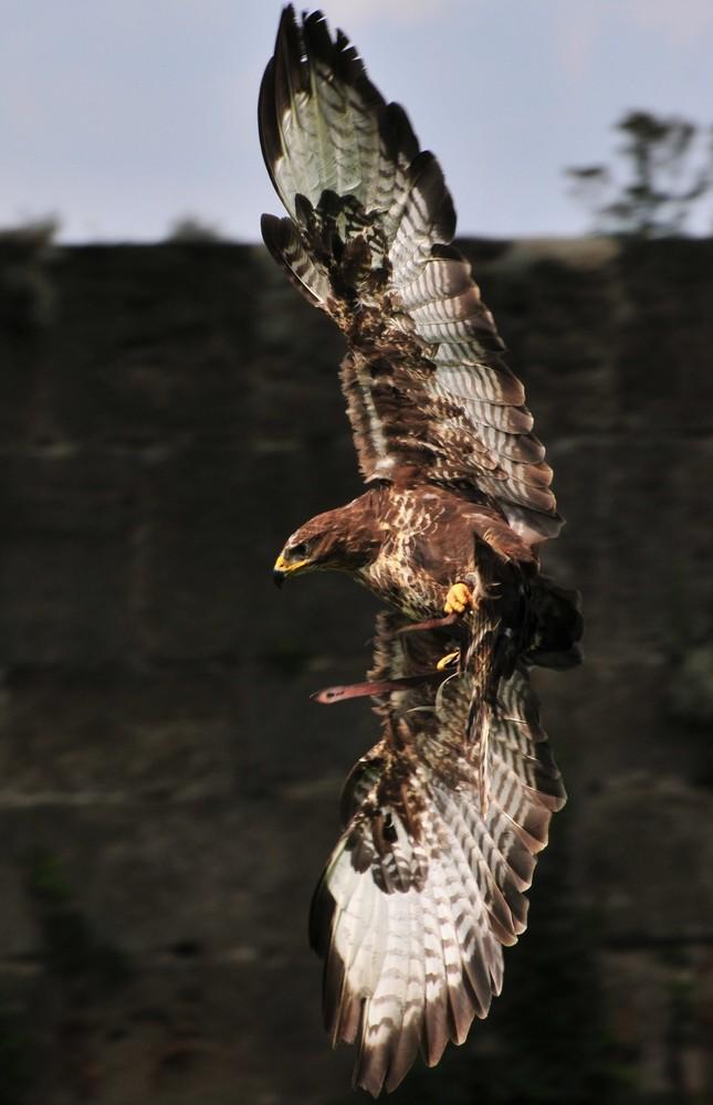 Adler bei der Wende