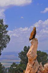Adler de Vogel Konig
