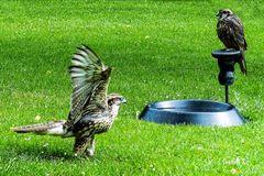 Adler - Flugversuch - Wildgehege Hellenthal