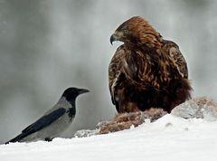 Adler ----hau ab kleiner ---