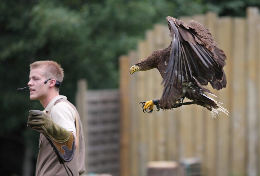 Adler Im Anflug