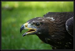 Adler im Anflug mit klarem Blick